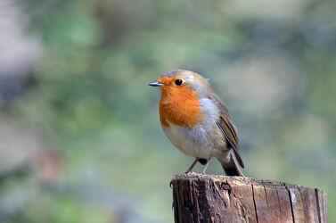 Bild mit Winter, Frühling, Vögel, garten, Rotkehlchen, Singvögel, Lieblingsvogel
