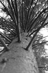 Bild mit Natur, Baum, Nadelbaum, Landschaft, Licht, Äste, schwarz weiß, dekorativ, Schatten, Zweige, schön, zeitlos