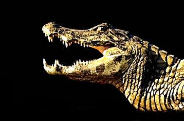 Krokodil im Angriff