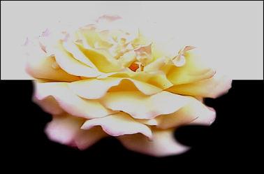 Bild mit Rosen, Makro Rose, Rosenblüte, Blumen im Makro, Digital Art, Digitale Kunst, Blumenmakro, Digitale Blumen