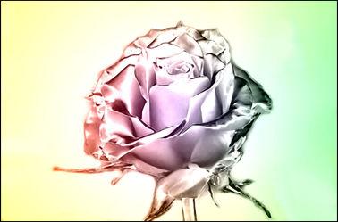Bild mit Rose, Makro Rose, Rosenblüte, Blumen im Makro, Digitale Kunst, Blumenmakro, Digitale Blumen