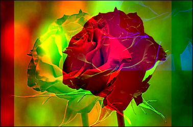 Bild mit Rosen, Blumen im Makro, Digitale Kunst, Digitales, Blumenmakro, Digitale Blumen