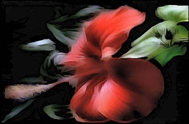 Amarylisblüte