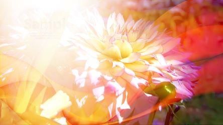 Bild mit Blumen, Dahlien, Blume, Blütenzauber, blütenkompositionen, Bildercollagen, Collagen, Collage, Digitale Blumen, Blumen Collagen