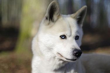 Bild mit Tiere, Hunde, Tier, Hund, Dog, hunderasse, schlittenhund