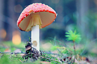 Bild mit Wälder, Herbst, Wald, Märchenwald, Pilze, pilz, fliegenpilz, fliegenpilze, märchen