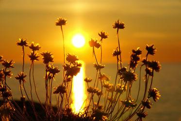 Bild mit Gräser, Blumen, Sonnenuntergang, Sonnenaufgang, Blume, Sonnenuntergänge, nelken, Nelke