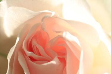 Bild mit Pflanzen, Blumen, Rosen, Blume, Pflanze, Rose, Makro, Makros