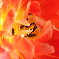 Bild mit Pflanzen, Blumen, Blume, Pflanze, Makro, Tulpe, Tulpen, Makros