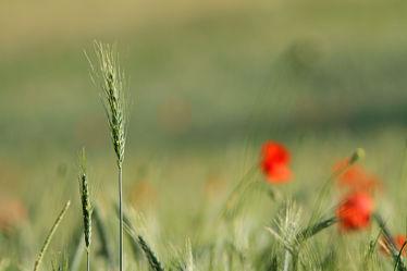 Bild mit Pflanzen, Gräser, Blumen, Mohn, Blume, Pflanze, Mohnblume, Mohnfeld, Gras, Feld, Felder, Mohnblumen