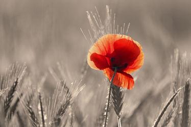 Bild mit Pflanzen, Blumen, Mohn, Blume, Pflanze, Mohnblume, Mohnfeld, Feld, Felder, Mohnblumen, Colorkey