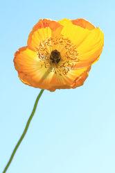Bild mit Natur, Pflanzen, Blumen, Mohn, Blume, Pflanze, Mohnblume, Blüten, Mohnblumen, blüte