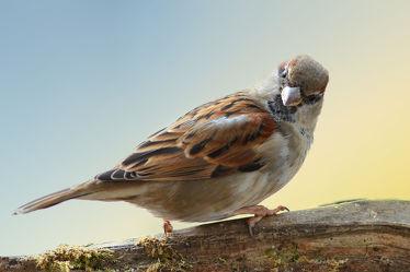 Bild mit Tiere, Natur, Vögel, Vögel, Tier, Animal, Umwelt, Spatz, Tierbild, Tierbilder, Spatzen, Sperling, Sperlinge