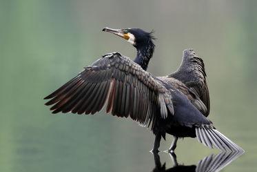 Bild mit Tiere, Natur, Vögel, Vögel, Tier, Tierfotografie, Animal, Wildlife, Umwelt, Tierbild, Tierbilder, Tierfoto, Kormoran, Kormorane