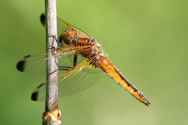 Bild mit Tiere, Insekten, Tier, Libellen, Libelle, Umwelt, Insekt