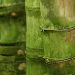 Bild mit Pflanzen, Blumen, Bambus, bamboo, Ruhe, Wellness, asien, BAMBUSGEWäCHSE, exotisch, JAPAN, FERNOST, SEELE, Bambusmotiv