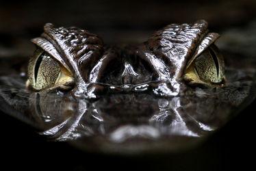 Bild mit Tiere, Augen, Natur, Wasser, Reptilien, Tier, Afrika, Umwelt, Reptil, Gefahr, Kaiman, Kaimane, Krokodil, Krokodile, gefährlich
