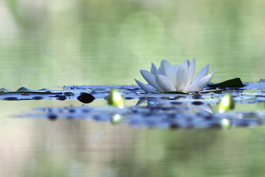 Bild mit Natur, Pflanzen, Gewässer, Seen, Blumen, Blume, Pflanze, See, Entspannung, seerosen, lotus, Wellness, seerose, Erholung, Wasserpflanzen, Lotusblume, Lotusblumen