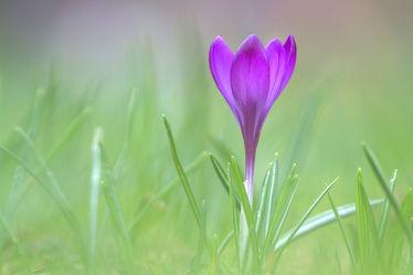 Bild mit Natur, Pflanzen, Blumen, Blume, Pflanze, Krokusse, Umwelt, Krokus
