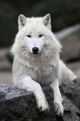 Bild mit Tiere, Natur, Raubtiere, Tier, Raubtier, Animal, Umwelt, Wolf, Wölfe