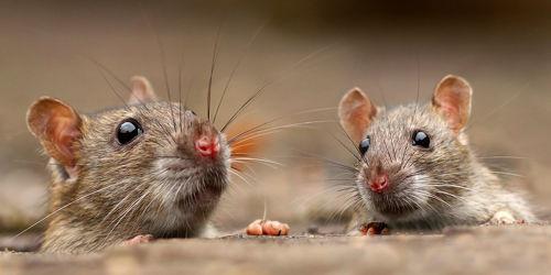 Bild mit Tiere, Natur, Ratten, Tier, Animal, Umwelt, Maus, Mäuse, niedlich, Ratte, cute, süß