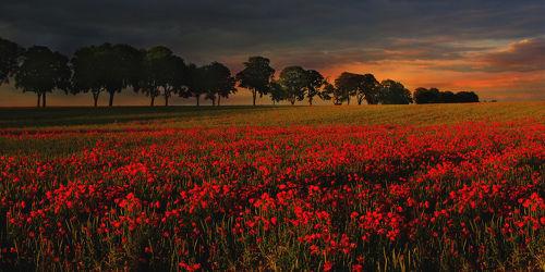 Bild mit Blumen, Sonnenuntergang, Sonnenaufgang, Mohn, Blume, Mohnblume, Klatschmohn, Mohnfeld, Feld, Felder, Mohnblumen, Mohnfelder, Mohnblumenfeld