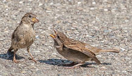 Bild mit Tiere,Vögel,Vögel,Tier,Spatz,Spatzen,Sperling,Sperlinge