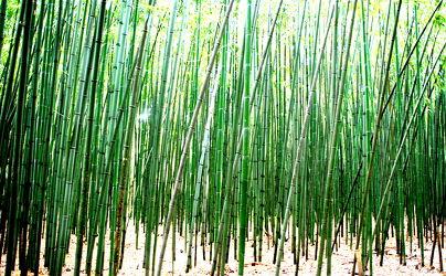 Bild mit Grün,Bambus,Tapeten Muster,Harmonie in Grün,wandtapete,fototapete,bambuswald