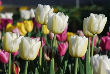 Bild mit Weiß, Frühling, Tulpe, Tulips, Tulpen, weiss, Tulip, intensiv, farbenfroh, leuchtend, tulpenpracht, tulpenbeet, frühblüher, frühjahr, weisse