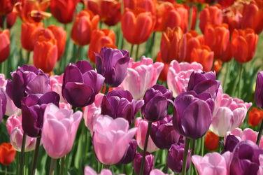 Bild mit Rosa, Lila, Violett, Frühling, Rot, Tulpe, Tulips, Tulpen, Tulip, Bunt, intensiv, farbenfroh, leuchtend, tulpenpracht, tulpenbeet, frühblüher, frühjahr, pink