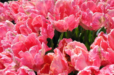 Bild mit Rosa, Frühling, Tulpe, Tulips, Tulpen, Tulip, intensiv, farbenfroh, leuchtend, tulpenpracht, tulpenbeet, frühblüher, frühjahr, pink