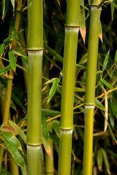 Bild mit Grün, Bambus, bamboo, Wellness, bambuswald, grüntöne, bambusstangen, bambusrohr