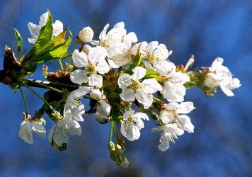 Bild mit Kirschblüten, Kirsche, Blumen und Blüten, Blüten, Frühlingsgefühle, blüte, Kirschblüte