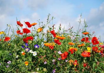 Bild mit Klatschmohn, Wiese, wiesenblumen, Blumenwiesen, Wiesen, Weide, Ringelblumen, Winden