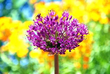 Bild mit Lila, Violett, Abstrakt, Blütenreich, blüte, farbenfroh, dekorativ, wandschmuck, lauch, digital bearbeitet, Zierlauchblüte, Kugel, Zierlauch