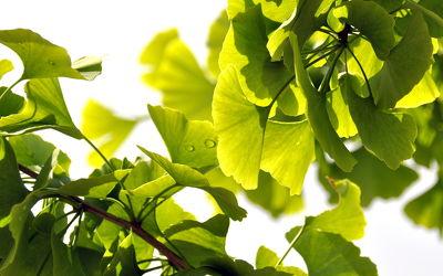 Bild mit Grün, Baum, Blätter, green, grüntöne, ginkgo, ginkgobaum, ginkgoblätter, ginko, ginkobaum, ginkoblätter, harmonie