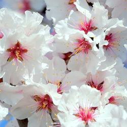 Bild mit Rosa,Frühling,weiss,Mandelblüte,Frühlingsgefühle,Frühlingsgefühle,Mandelblüten,frühjahr,zart,mandelbäumchen,dekorativ