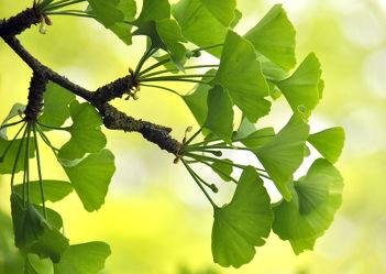 Bild mit Grün, Baum, Blätter, Deko, dekorativ, green, grüntöne, ginkgo, ginkgobaum, ginkgoblätter, ginko, ginkobaum, ginkoblätter, harmonie, harmony, harmonisch