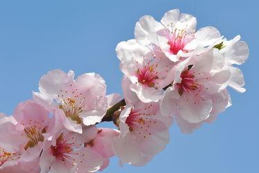 Bild mit Rosa,Frühling,weiss,Mandelblüte,Frühlingsgefühle,Mandelblüten,frühjahr,zart,mandelbäumchen,dekorativ