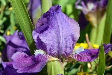 Bild mit Lila, Violett, Makro, Iris, Blütenreich, nahaufnahme, macro, sibirische, schwertlilie