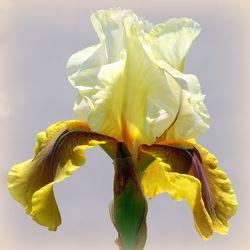 Bild mit Gelb,Iris,Quadratisch,Blütenreich,blüte,nahaufnahme,schwertlilie,gelbtöne,quadrat,schwertlilien