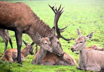 Hirschfamilie