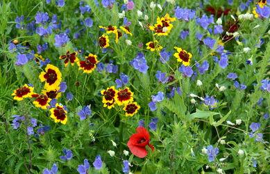 Bild mit Gelb, Gräser, Rot, Blau, Sommer, Mohn, Klatschmohn, Gras, Wiese, Flowers, Bunt, wiesenblumen, wiesenblumen, Blüten, Tapete, Blumenwiesen, blüte, wandtapete, fototapete, farbenfroh, farbig, freundlich, sommerblumen, wiesenblume, sommerblumenwiese, blumenwiese, flower_field, sommerlich, tischdeckenmuster, natternkopf