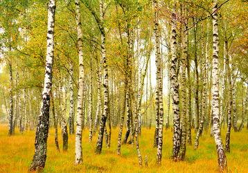 Bild mit Bäume, Wälder, Herbst, Birken, Wald, Baum, Birke, Waldlichtung, Weg, Waldweg, Sonnenschein, Birkenwald, herbstlich