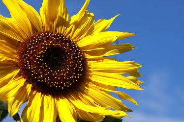 Sonnenblumen 08