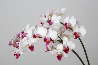Bild mit Blumen, Weiß, Orchideen, Blume, Orchidee, Pflanze, pink, Dekoration, Zimmenpflanze, Orchideengewächs