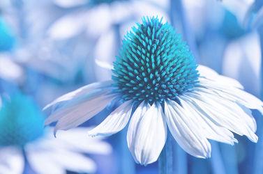 Bild mit Natur, Blumen, Blau, Türkis, Blume, Pflanze, Makro, Blumen und Pflanzen, Flora, Blüten, blüte, zinnien, sonnenhut, sonnenhut, rudbeckia, Deko, dekorativ, Dekoration, korbblüter, sommerblumen, sommerwiese