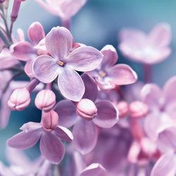 Bild mit Blumen, Lila, Frühling, Blau, Makroaufnahme, Blume, Pflanze, Makro, Blumen und Pflanzen, Flora, Blüten, garten, blüte, flieder, nahaufnahme, Deko, dekorativ