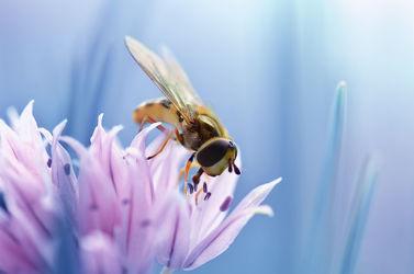 Bild mit Tiere, Natur, Blumen, Frühling, Insekten, Blau, Sommer, Makroaufnahme, Blume, Pflanze, Makro, garten, blüte, nahaufnahme, Schnittlauch, dekorativ, Insekt, Schwebfliege, lauch, schnittlauchblüte
