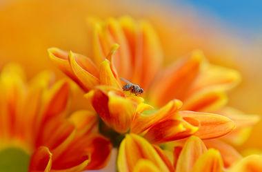 Bild mit Orange, Gelb, Natur, Pflanzen, Blumen, Rot, Insekten, Sommer, Makroaufnahme, Blume, Pflanze, Makro, Blumen und Pflanzen, Flora, garten, blüte, nahaufnahme, dekorativ, Insekt, Fliege, sommerblumen, sommerzeit